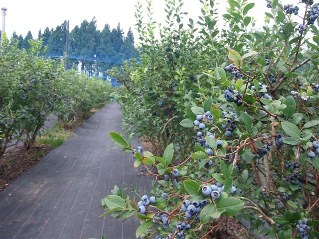 宇川ブルーベリー園